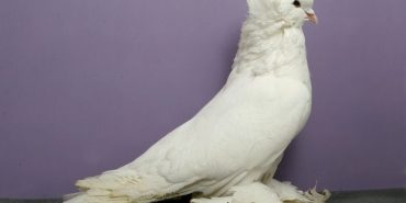 У Коломиї відбудеться виставка голубів