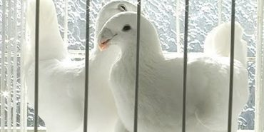 У Коломиї відбулася виставка голубів. ВІДЕО