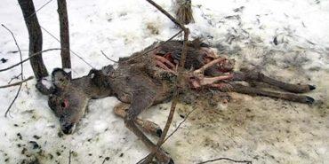 На Коломийщині собаки загризли дві козулі, які потрапили у пастку браконьєрів. ВІДЕО