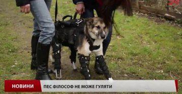 У Львові собака без ніг вчиться ходити на протезах