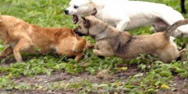 У лісах поблизу Івано-Франківська водяться зграї небезпечних собак