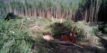 На Прикарпатті масово вирубують смерекові ліси. ФОТО