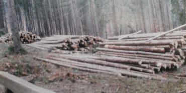 На Прикарпатті СБУ викрила незаконну вирубку дерев на суму майже 2,5 мільйони гривень