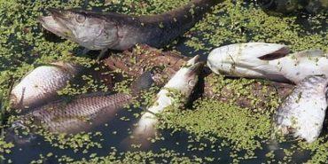 У річці Турка на Снятинщині масово гине риба