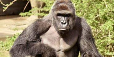 У Америці вбили горилу, аби не ризикувати життям дитини, яка впала у вольєр