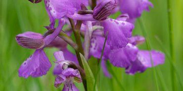 На Прикарпатті росте орхідея, яка занесена до Червоної книги. ФОТО