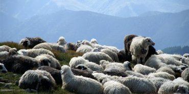 На Закарпатті вівчарів провели на полонину. ВІДЕО