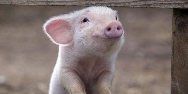 На Прикарпаття не впустять африканську чуму свиней