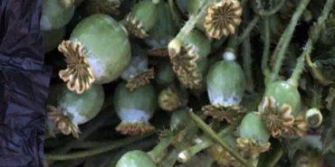 Понад півтори тисячі незаконно посіяних рослин снодійного маку вилучили на Прикарпатті