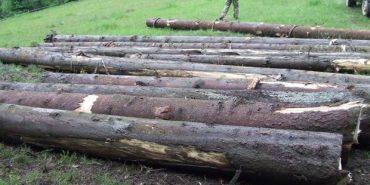 На Прикарпатті браконьєри зрубали лісу на 22 тисячі гривень. ФОТО