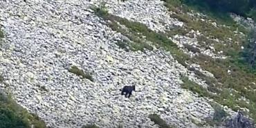 Унікальне відео: сполохане ведмежа долає гірський схил гори Попадя у Карпатах. ВІДЕО