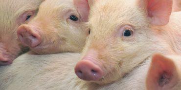 У Коломиї вживають заходів для запобігання поширення африканської чуми свиней