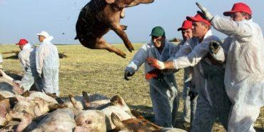 На Буковині через спалах африканської чуми знищили 1555 свиней