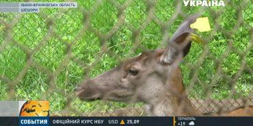 На Коломийщині врятували оленицю, яка ледь не втопилася. ВІДЕО