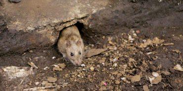 60-річну жінку на Прикарпатті вкусив щур хворий на сказ