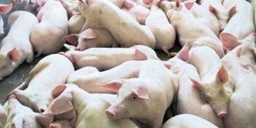 600 свиней на Калущині загинуло від теплового удару