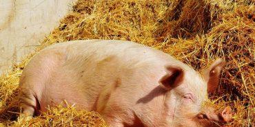 """У """"Даноші"""" прокоментували загибель свиней"""