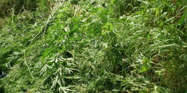Прикарпатська СБУ виявила та знищила гектар марихуани у районі проведення АТО.