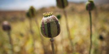 На Коломийщині вже вкотре виявили насадження заборонених рослин