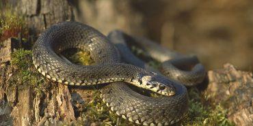 Через укуси змій двоє людей на Прикарпатті потрапили до реанімації