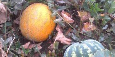 На Рогатинщині вирощують кавуни і дині. ФОТО