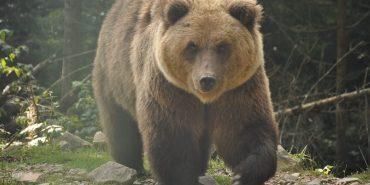 Віч-на-віч з ведмедем: журналіст сфотографував у Карпатах бурого ведмедя