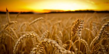 Найбільший імпортер відмовився від української пшениці