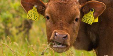 Затримали 19-річного хлопця, який на Коломийщині вкрав з поля корову