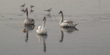 Як на Прикарпатті визволяли лебедів з льодового полону