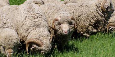 Для виведення нової породи овець на Прикарпатті потрібно 100 га землі на кожну тисячу голів