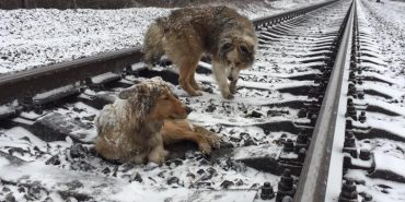 На Закарпатті пес 2 дні охороняв на колії поранену подругу, лягаючи під потяги, що їхали над нею. ФОТО+ВІДЕО
