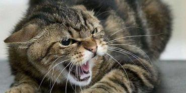 Франківця покусала хвора на сказ кішка