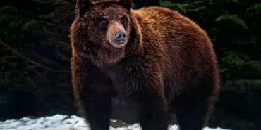 У Карпатах бурий ведмідь напав на двох туристів. ВІДЕО