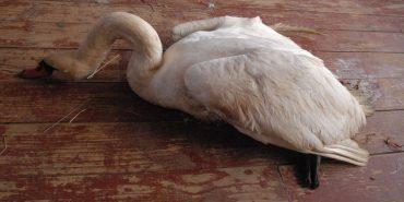 У Коломиї рибалки врятували пораненого лебедя. ФОТО