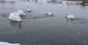 Прикарпатські рятувальники допомогли 12 лебедям