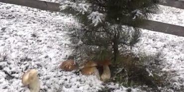 Не з холодильника, а з-під снігу: на Прикарпатті люди продовжують збирати гриби. ВІДЕО