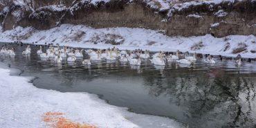 Небайдужі коломияни перемістили лебедів з озера на ріку. ФОТО