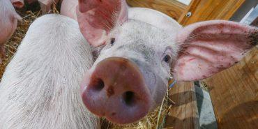На Прикарпатті у кабана виявили збудник африканської чуми свиней