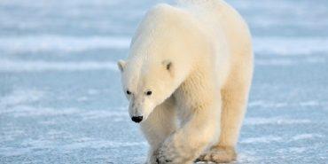 """Студенти запустили альтернативу """"Синьому киту"""" — інтернет-гру """"Білий ведмідь"""""""