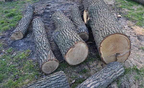 В Івано-Франківській області засудили неповнолітнього за незаконну порубку дуба