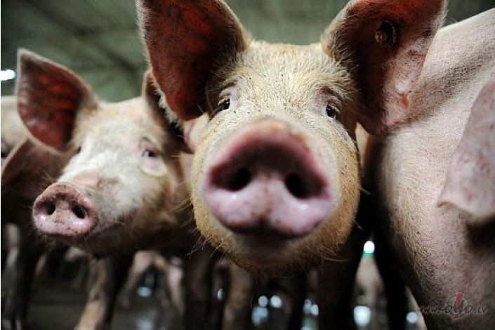 На Прикарпатті через африканську чуму спалили 9 диких свиней