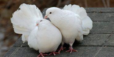 У Коломиї пройшла виставка декоративних та спортивних голубів. ВІДЕО