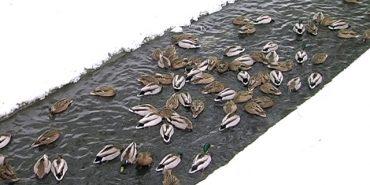 У Коломиї майже в середмісті оселилася зграя голодних качок. ВІДЕО