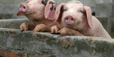 У Коломиї вживають заходів, щоб уберегтися від африканської чуми свиней