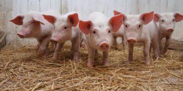 Ще один випадок африканської чуми свиней виявили на Прикарпатті
