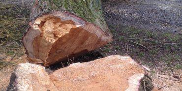 Біля міського озера в Коломиї висадять молоді дерева на місці зрізаних
