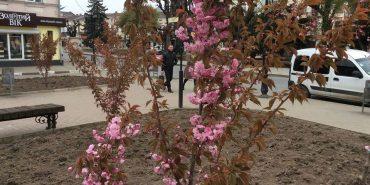 У Коломиї втретє зацвіла сакура. ФОТО