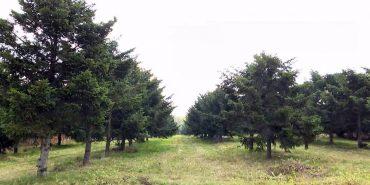 Коломийщина має єдину на Прикарпатті селекційну плантацію рідкісних порід дерев