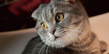 Ветеринари закликають припинити розведення висловухих котів