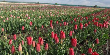 Долина тюльпанів на Буковині зачаровує українців. ФОТО